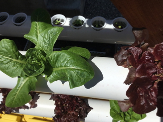 Growing lettuce plants