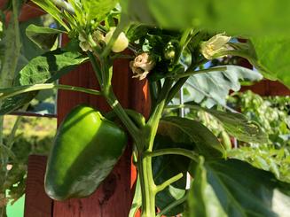 Growing pepper